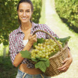 Vintner picking grapes in a vineyard — Stock Photo #13865888