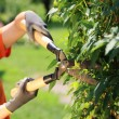 Hedge Trimming — Stock Photo