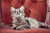 Gatito descansando en un sillón barroco — Foto de Stock