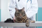 Veterinarian and Cat — Stock Photo