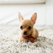 Chihuahua in the living room — Stock Photo #43548845