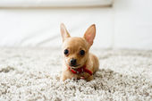 Chihuahua in the living room — Stock Photo