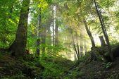 Las — Zdjęcie stockowe