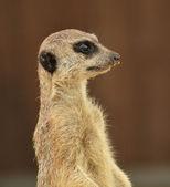 アラートのミーアキャット — ストック写真