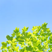 Fresh spring leaves and blue sky — Stock Photo