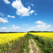 Yellow oilseed rape field under the blue sky — Stock Photo