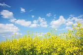 Blå himmel och gula blommor fält — Stockfoto