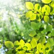 green leaves and morning sun — Stok fotoğraf