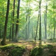 Old beech trees in green forest — Foto Stock