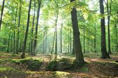 Old beech trees in green forest — Stock Photo