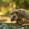 Hedgehog — Stock Photo #31080307