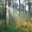 Morning in the forest — Stock Photo