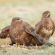Stock Photo: Common buzzards