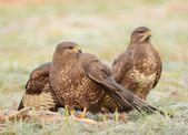 Common buzzards — Stock Photo