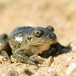 Common spadefoot — Stock Photo #43075159
