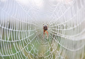 Spider web — Stockfoto