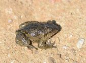 Common spadefoot — Foto de Stock