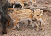 Boars — Stock fotografie