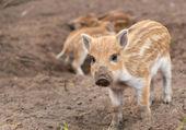 Boar — Stock fotografie