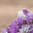 Chive blossoms — Stock Photo