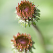 Echinacea buds — Stock Photo