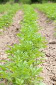 Potato field — Stockfoto