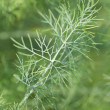 Stock Photo: Dill twig