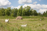 Goats being grazed — Stock Photo