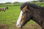 Blue eyed icelandic horse — Stock Photo