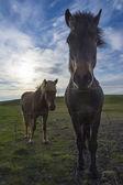 Two icelandic horses — Stock Photo