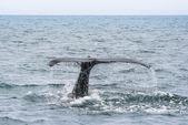 Humpback Whale tail. Megaptera novaeangliae — Stock Photo