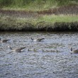 Stock Photo: Western Greylag Goose family (Anser anser anser)