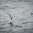Sea gull: Black-legged Kittiwake (Rissa tridactyla) — Foto Stock