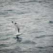 Sea gull: Black-legged Kittiwake (Rissa tridactyla) — Stok fotoğraf