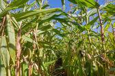 Path through a big cornfield — Stock Photo