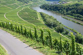 Vineyards along the river Moselle in Germany — Stock Photo
