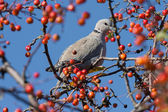 Pigeon sitting in a tree with ripe fruits — Stock fotografie