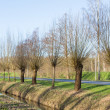 Pollard willows along ditch and road — Stock Photo #21899673