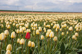 Lonely red tulip in yellow tulip field — Stock Photo