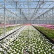 Greenhouse with colorful geranium plants — Stockfoto