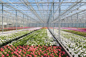 Greenhouse with colorful geranium plants — Stock Photo
