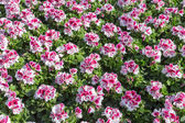 Pink Geraniums in a Dutch Greenhouse — Stock Photo
