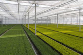 Cultivation of cupressus in a Dutch greenhouse — Stock Photo