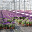 Stock Photo: Purple flowers in a greenhouse