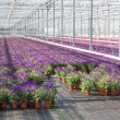 Purple flowers in a greenhouse — Stock Photo