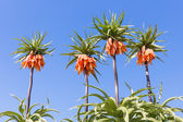 Orange Crown Imperial Lily, latin name - Frittilaria imperialis — Stock Photo