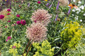 Lush garden with allium and Field Scabiou — Stock Photo