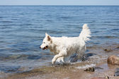 White swiss shepherd retrieving a branch out of the water — Stock Photo