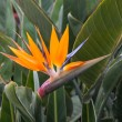 Bird of Paradise, Strelitzia reginae exotic tropical flower at La Palma, Canary Islands — Stock Photo