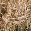Yellow grain ready for harvest growing in a farm field — Stock Photo #29468679